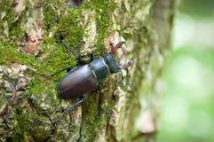 Besouro de veado que senta-se em uma casca de árvore Foto de Stock Royalty Free