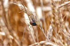 Besouro do escaravelho no trigo do spikelet Fotos de Stock Royalty Free