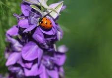 Besouro do joaninha ou de joaninha na flor da espora Fotos de Stock Royalty Free