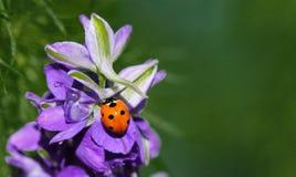 Besouro do joaninha ou de joaninha na flor da espora Imagens de Stock Royalty Free