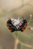 Besouro do Meloidae dois em uma flor Fotos de Stock