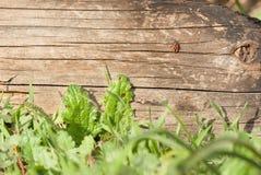 Besouro do soldado que rasteja em logs carbonizados Imagens de Stock Royalty Free