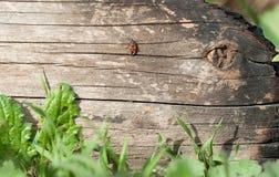 Besouro do soldado que rasteja em logs carbonizados Fotos de Stock