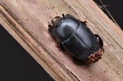 Besouro e ácaros Foto de Stock