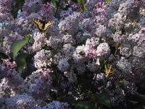 Besouro e borboleta verdes grandes do swallowtail em conjuntos de flores roxas lilás, bonitas imagem de stock