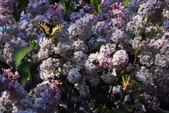 Besouro e borboleta verdes grandes do swallowtail em conjuntos de flores roxas lilás, bonitas fotos de stock royalty free
