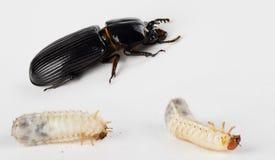 Besouro e larvas do couro envernizado fotos de stock royalty free