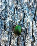 Besouro em uma árvore fotos de stock royalty free