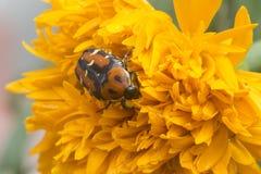 Besouro em uma flor foto de stock royalty free
