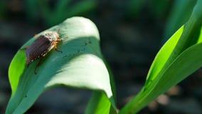 Besouro em uma folha verde de uma tulipa video estoque