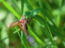 Besouro em uma grama verde Fotos de Stock Royalty Free