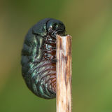 besouro Ensanguentado-cheirado & x28; Tenebricosa& x29 de Timarcha; larva fotografia de stock