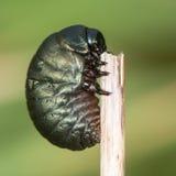 besouro Ensanguentado-cheirado & x28; Tenebricosa& x29 de Timarcha; perfil da larva imagem de stock