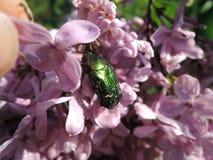 Besouro, inseto no lilás Besouro verde à terra Imagens de Stock Royalty Free