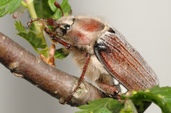 Besouro (Melolontha vulgaris) Imagem de Stock