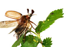 Besouro (Melolontha vulgaris) Imagens de Stock