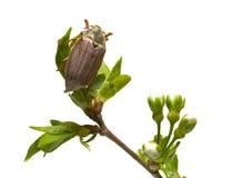 Besouro na filial da árvore Fotografia de Stock Royalty Free