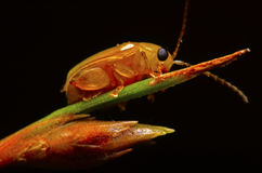 Besouro na natureza Foto de Stock Royalty Free
