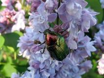 Besouro no lilac Imagens de Stock