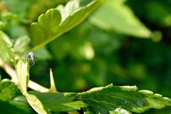 besouro pequeno da colmeia na folha Imagem de Stock