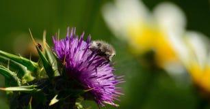Besouro pequeno na flor do cardo fotografia de stock