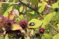 Besouro preto e verde entre vagens da semente do cardo fotografia de stock royalty free