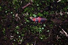 Besouro preto e vermelho grande imagens de stock royalty free