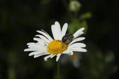 Besouro preto em uma margarida Fotos de Stock