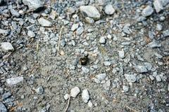 Besouro preto grande que anda no trajeto de pedra Foto de Stock
