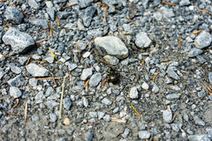 Besouro preto grande que anda no trajeto de pedra Imagem de Stock