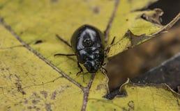 Besouro preto na folha amarela no dia do outono imagens de stock royalty free