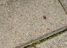Besouro preto vermelho em uma pedra imagens de stock