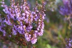 Besouro que recolhe o néctar Imagens de Stock