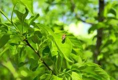Besouro que senta-se em uma folha verde Fotografia de Stock Royalty Free