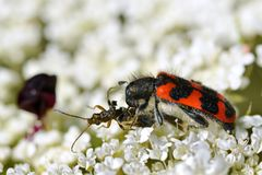 Besouro Trichodes que come um inseto foto de stock