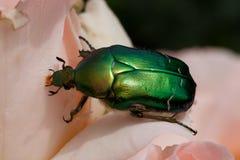 Besouro verde Fotos de Stock Royalty Free