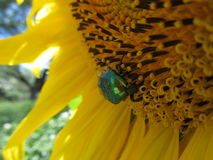 Besouro verde Fotografia de Stock