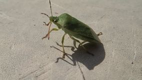 Besouro verde do protetor que anda e que limpa sua picada vídeos de arquivo
