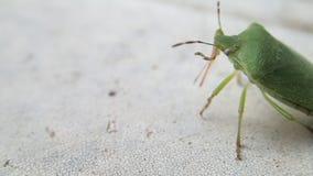 Besouro verde do protetor que anda e que limpa sua picada em uma tabela branca filme