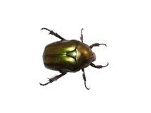 Besouro verde isolado Imagens de Stock