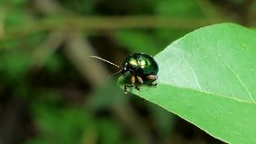 Besouro verde na folha verde video estoque