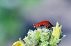 Besouro vermelho Imagens de Stock