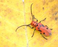 Besouro vermelho do Milkweed Fotos de Stock Royalty Free