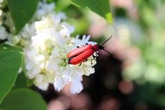 Besouro vermelho em um syringa branco Fotos de Stock Royalty Free