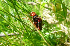besouros Fotos de Stock Royalty Free