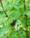 besouros Imagem de Stock