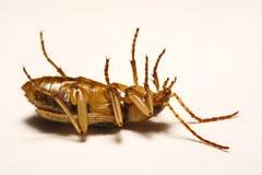 Besouros de bombardeiro em um fundo liso Foto de Stock