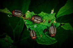 Besouros de Colorado que comem a planta de batata Fotografia de Stock Royalty Free