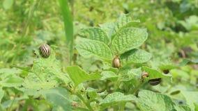 Besouros de Colorado que sentam-se na folha da batata video estoque