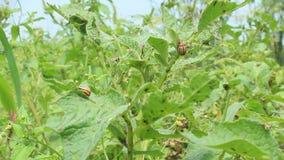 Besouros de Colorado que sentam-se nas folhas das batatas vídeos de arquivo